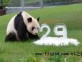 """旅日大熊猫""""永明""""迎来29岁生日 家族子孙数量超过40"""